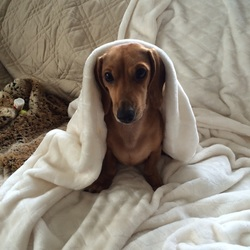 dog under blanket photo